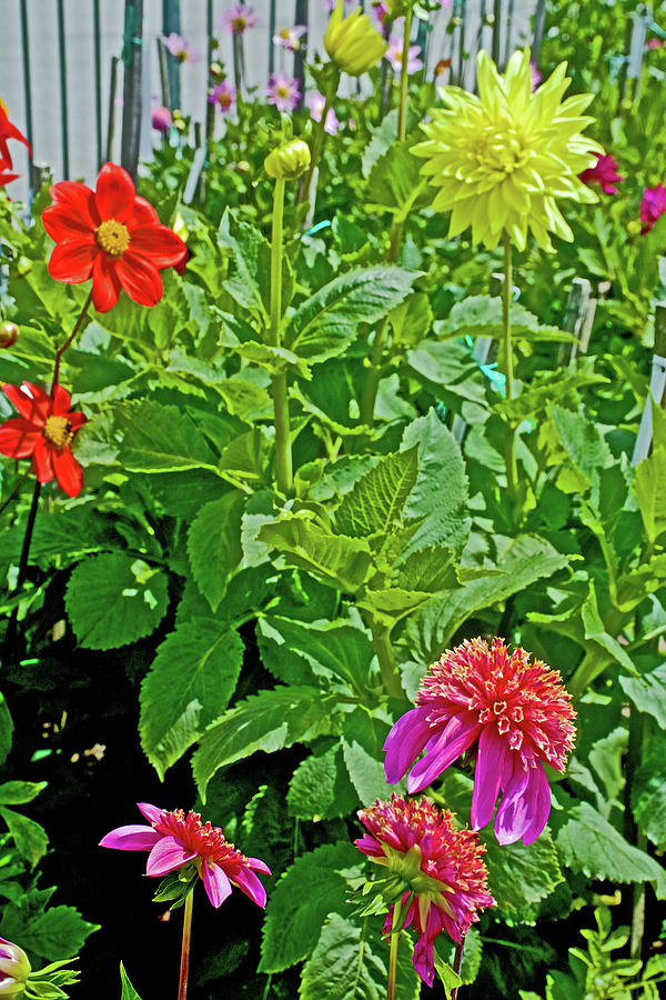 California Photograph - Dahlias By A Fence In Golden Gate Park In San Francisco, California  by Ruth Hager