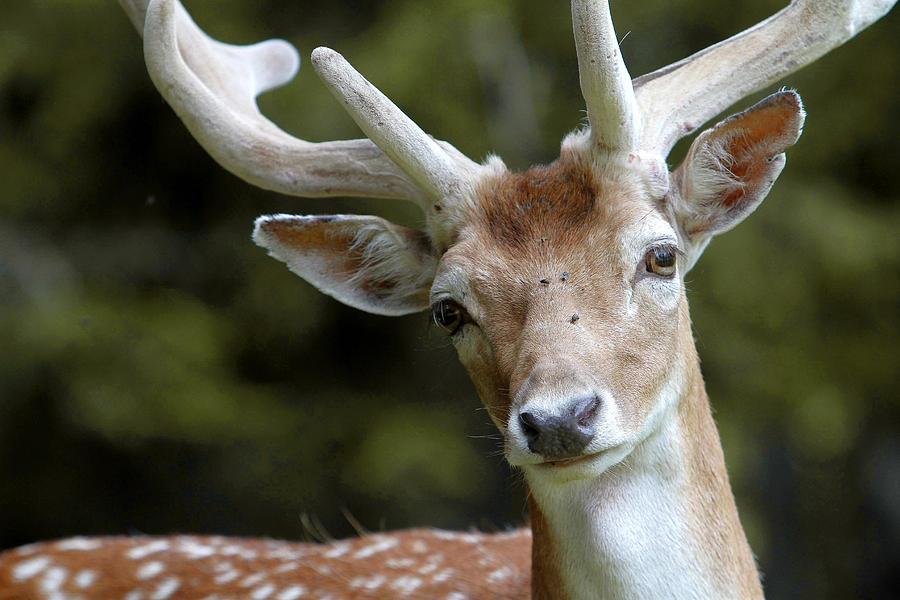 Animal Photograph - Daim Haute Savoie by Catherine Leblanc