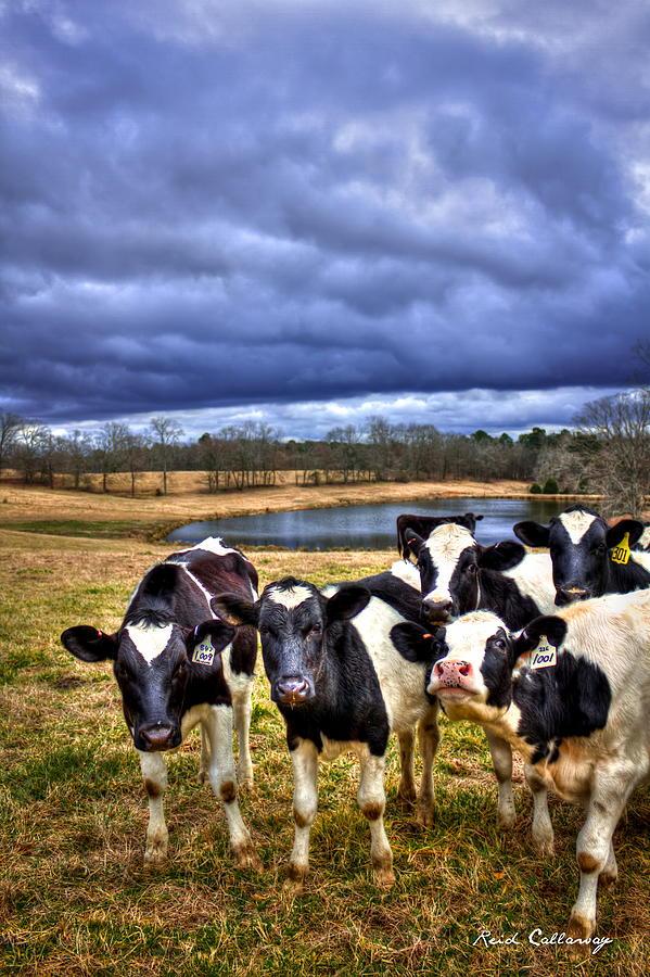 Farm Photograph - Dairy Heifer Groupies Future Chick-fil-a Starrs by Reid Callaway
