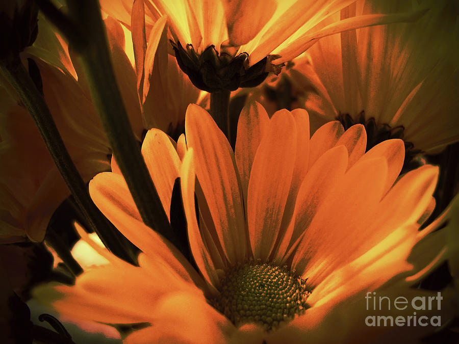 Daisies All Around by Kelly Holm