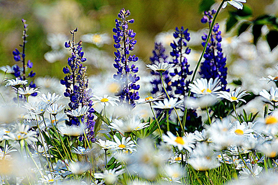 Daisies Photograph - Daisies And Lupine by Sherry McKellar