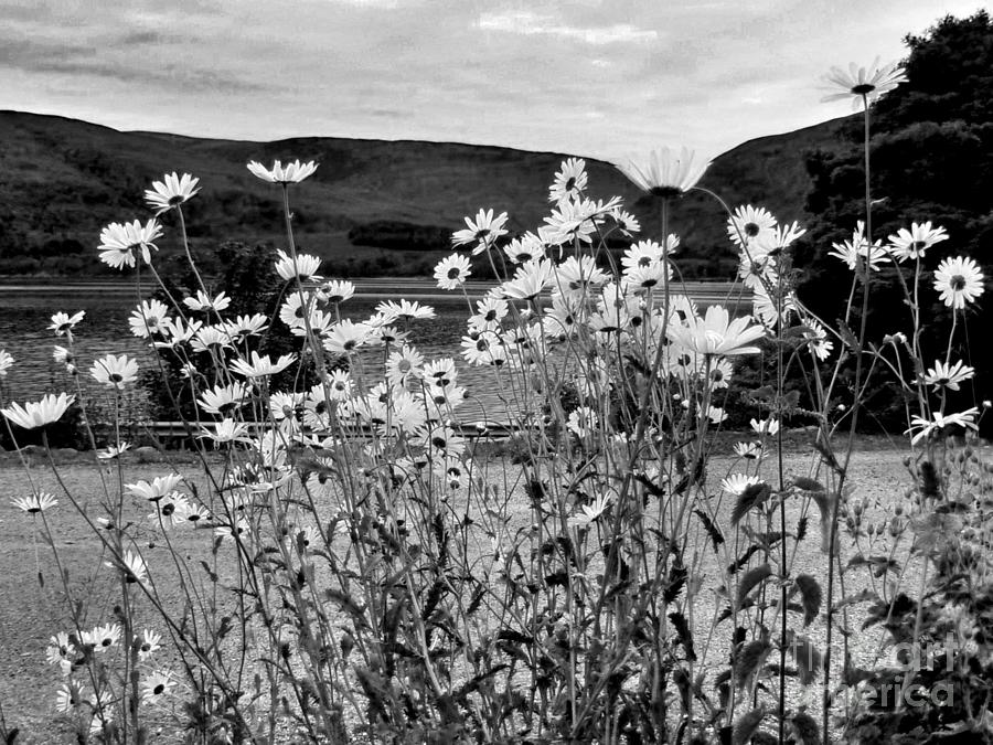 Daisies Photograph - Daisies By The Roadside At Loch Linnhe B W by Joan-Violet Stretch