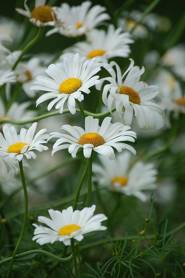 Daisies Flower Photograph - Daisies by Christopher Butler