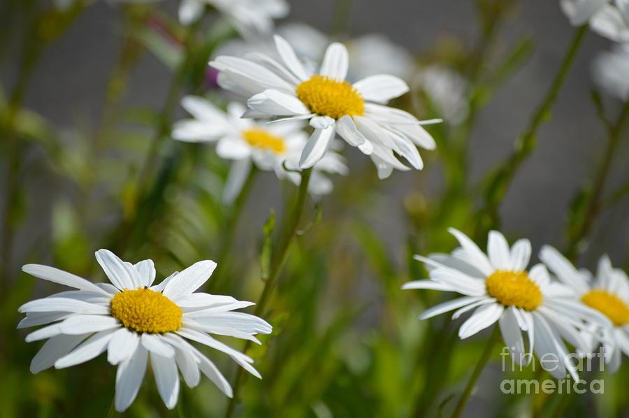 Daisies Galore by Carol Eliassen