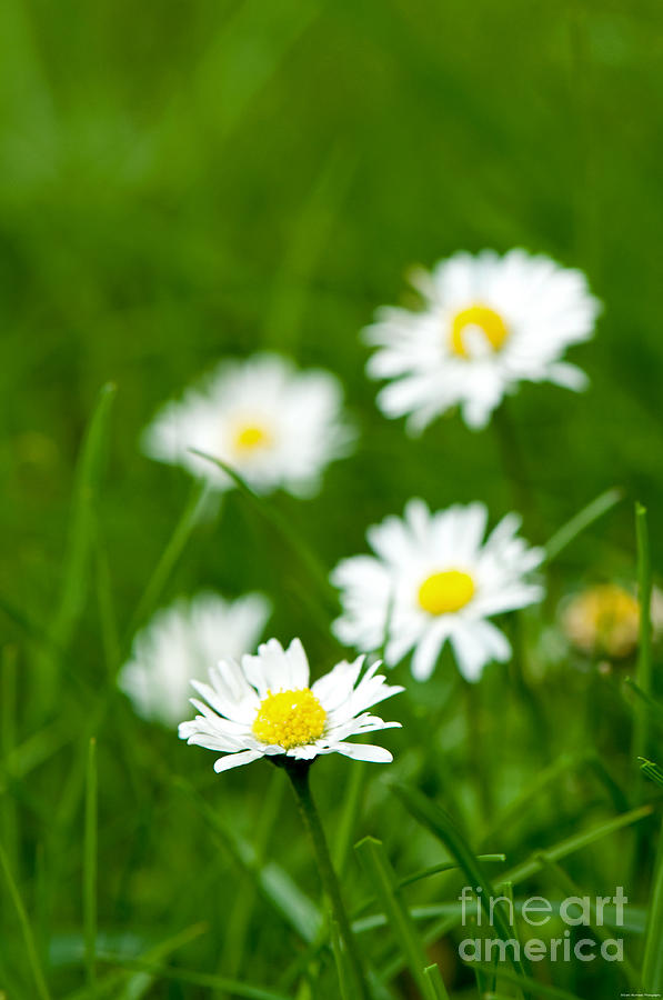 Flower Photograph - Daisies by Grant Muirhead