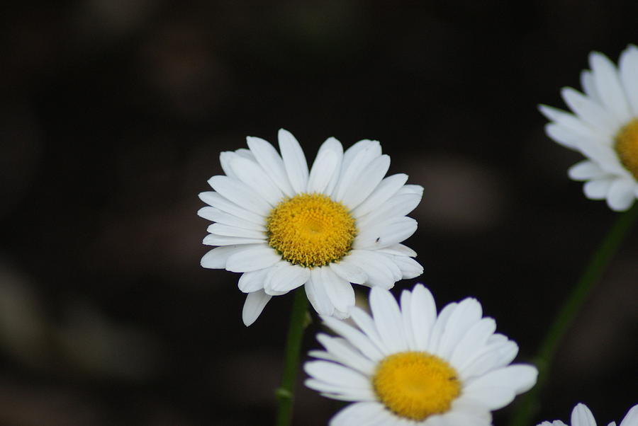 Flowers Photograph - Daisies by Heather Green