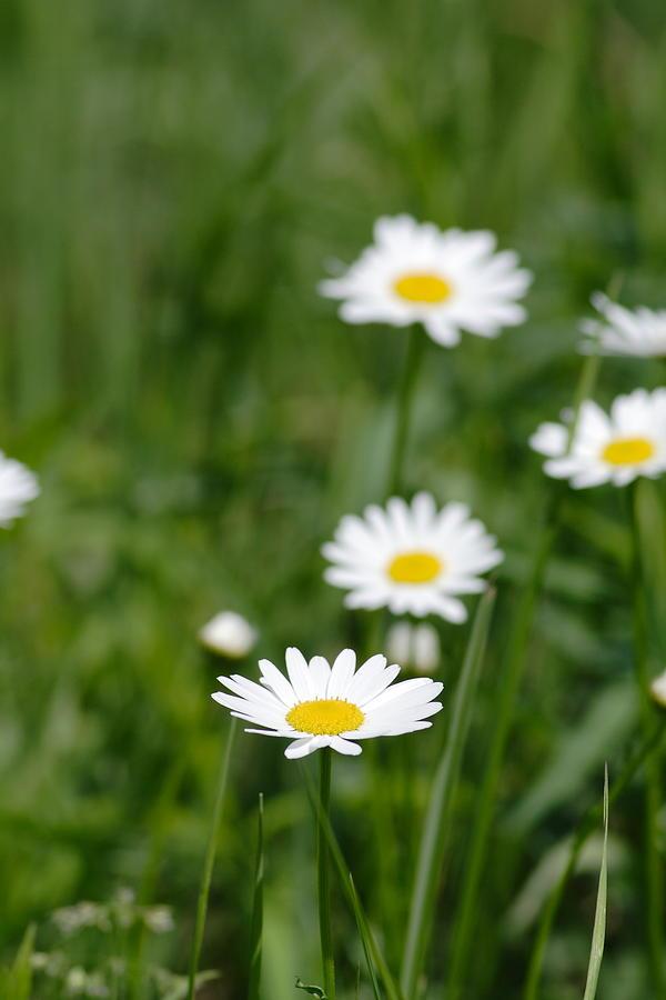 Daisy Photograph - Daisies by Jeff VanDyke