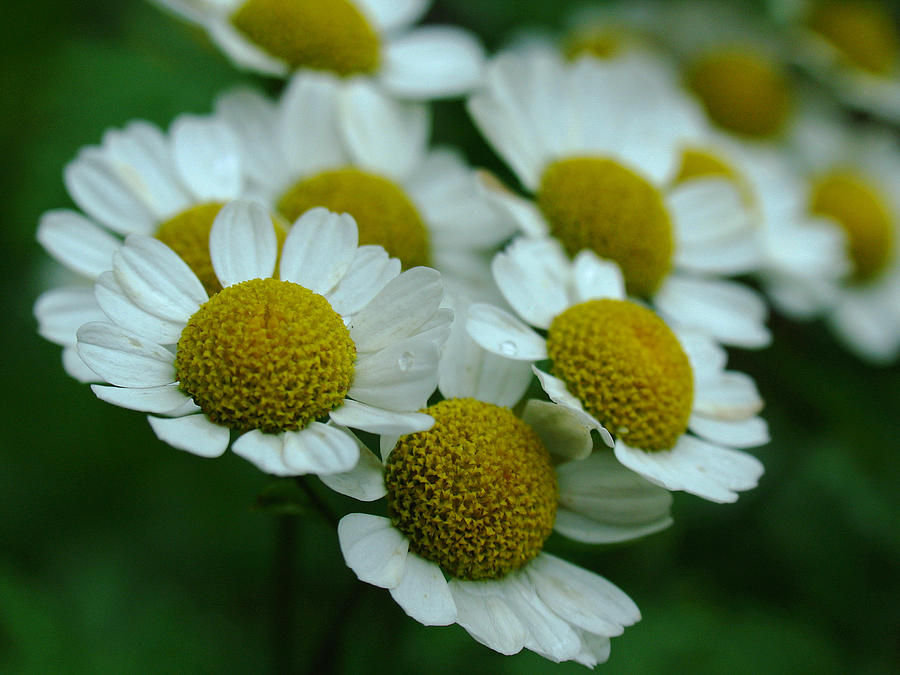 White Daisy Photograph - Daisies by Juergen Roth