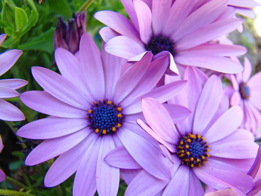 daisies lavender purple daisy flowers baslee troutman photograph by