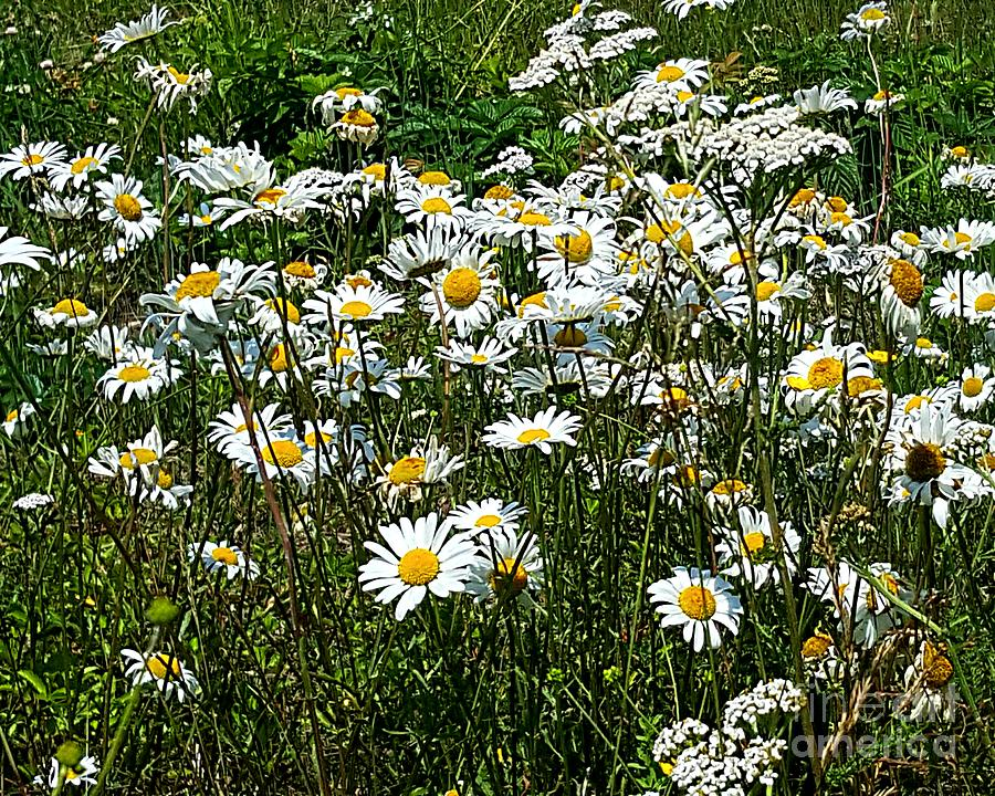 Daisies by Michael Graham