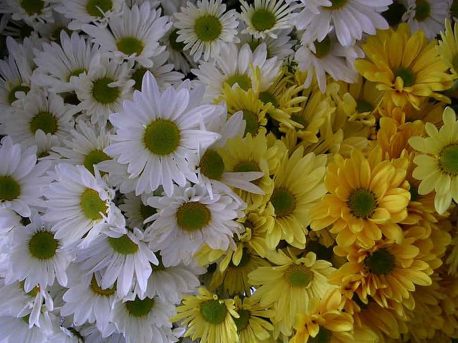 Daisies Photograph - Daisies by Nancy Ferrier