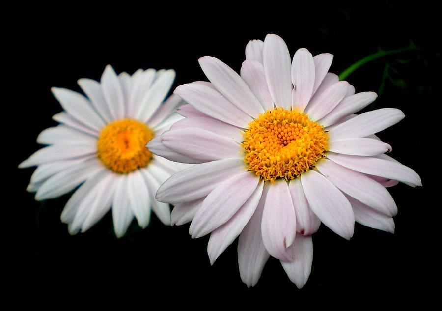 Daisies Photograph - Daisies by Sholeh Mesbah
