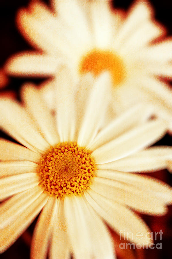 Close Up Photograph - Daisies by Silvia Ganora
