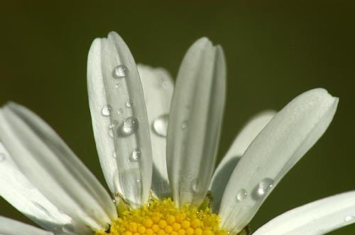 Ontario Photograph - Daisy - Ontario by Catherine Kelly