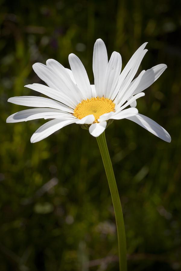 Daisy Photograph - Daisy 3 by Kelley King