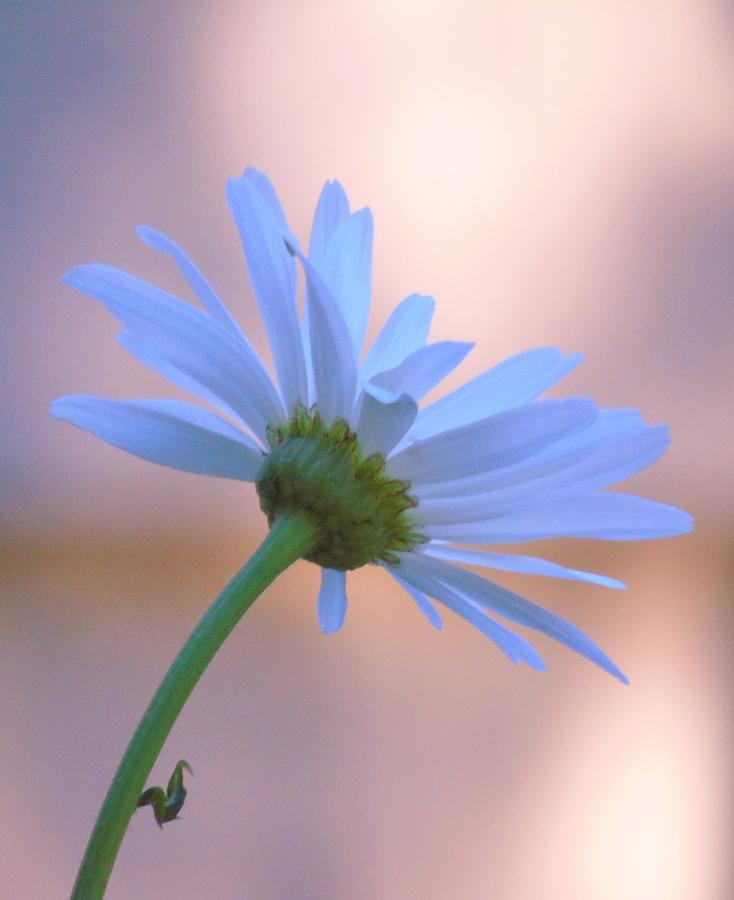 Daisy at Dawn by Barbara St Jean