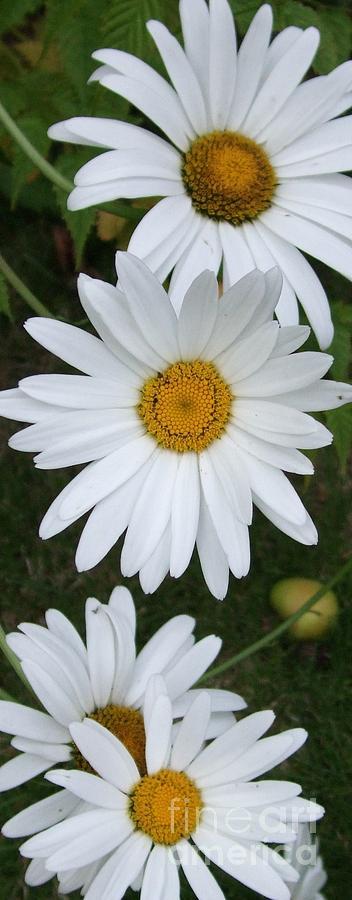Daisy Photograph - Daisy Daisy by Deborah Brewer