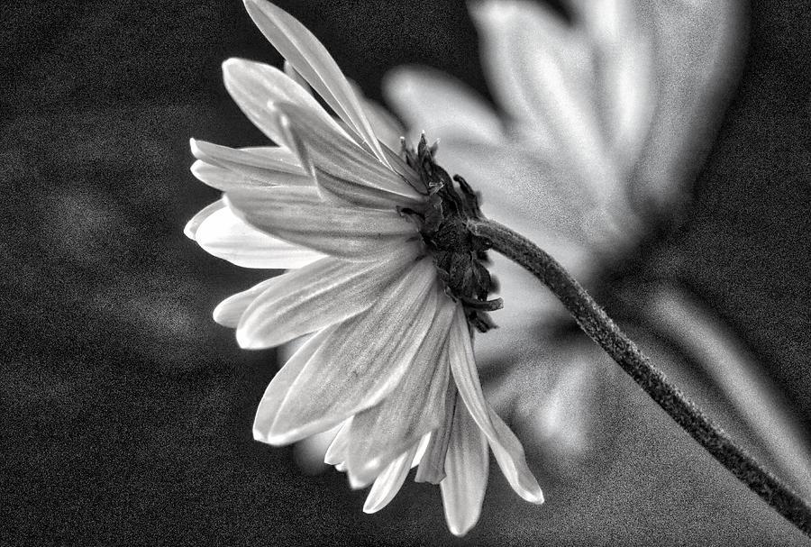 Daisy, Daisy by Linda James