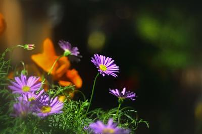 Digital Photography Photograph - Daisy by Dang Nguyen