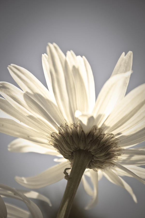 Flower Photograph - Daisy by Danielle Silveira