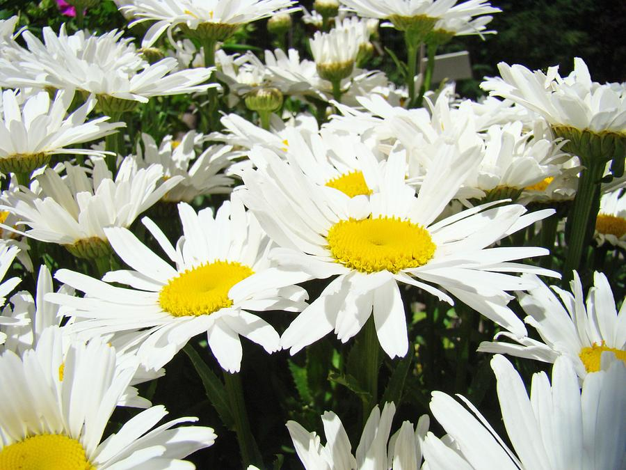 daisy flower field art prints white daisies photograph by baslee