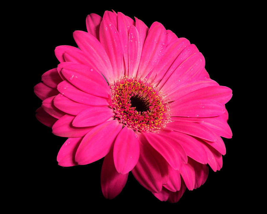 Daisy flower on Black by Kenneth Cole