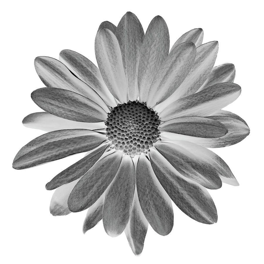 Daisy II Black and White by Lilia Maloratskiy