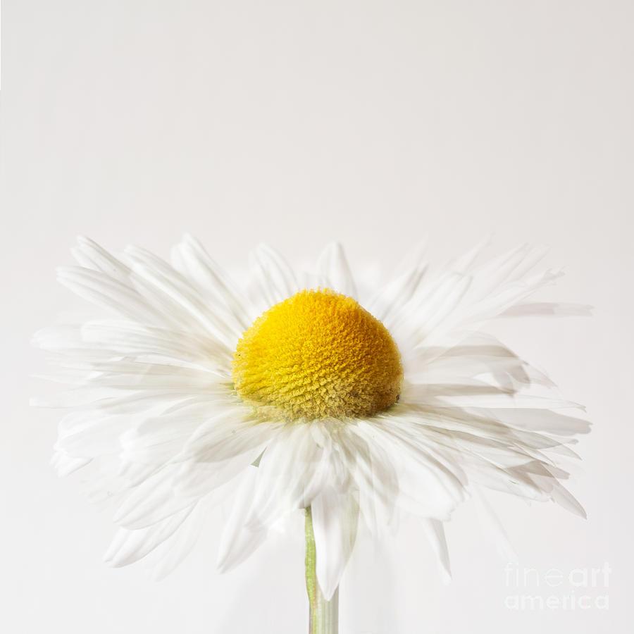 Daisy Photograph - Daisy Impression by Janet Burdon