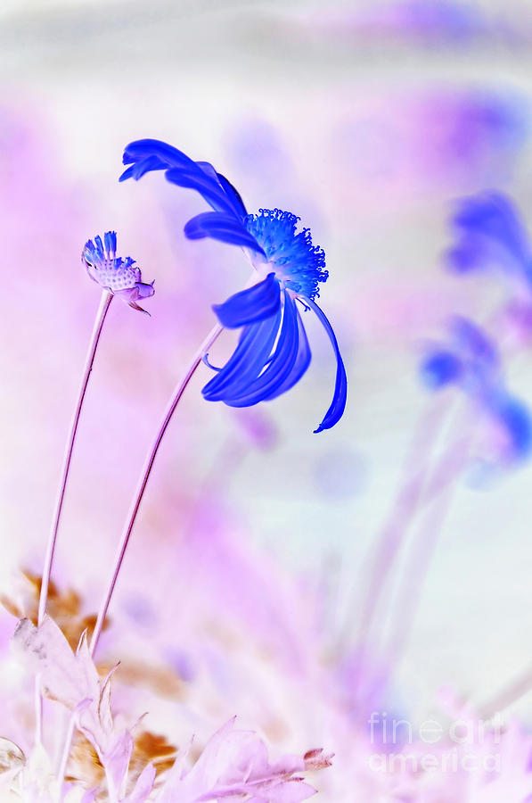 Photography Photograph - Daisy In Blue by Kaye Menner