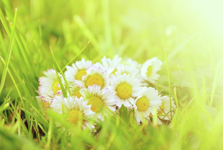Daisy In Grass Photograph
