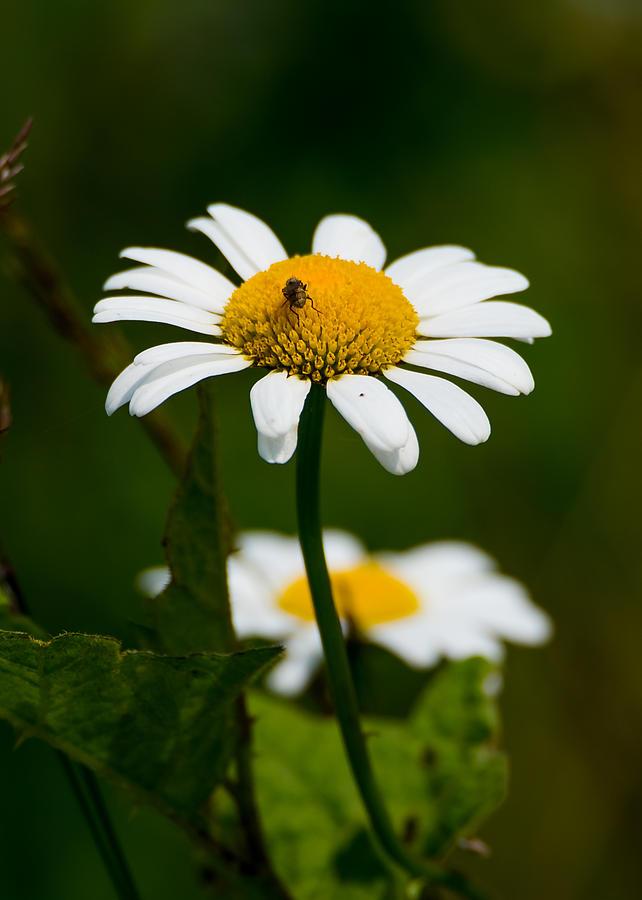 Daisy Photograph - Daisy by Jan M Holden