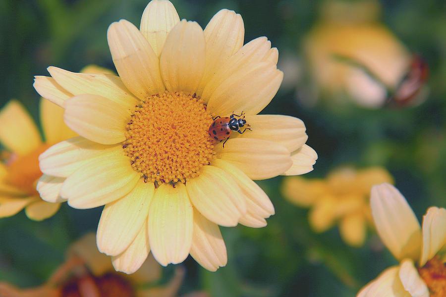 Daisy Ladybug by Nancy Dunivin