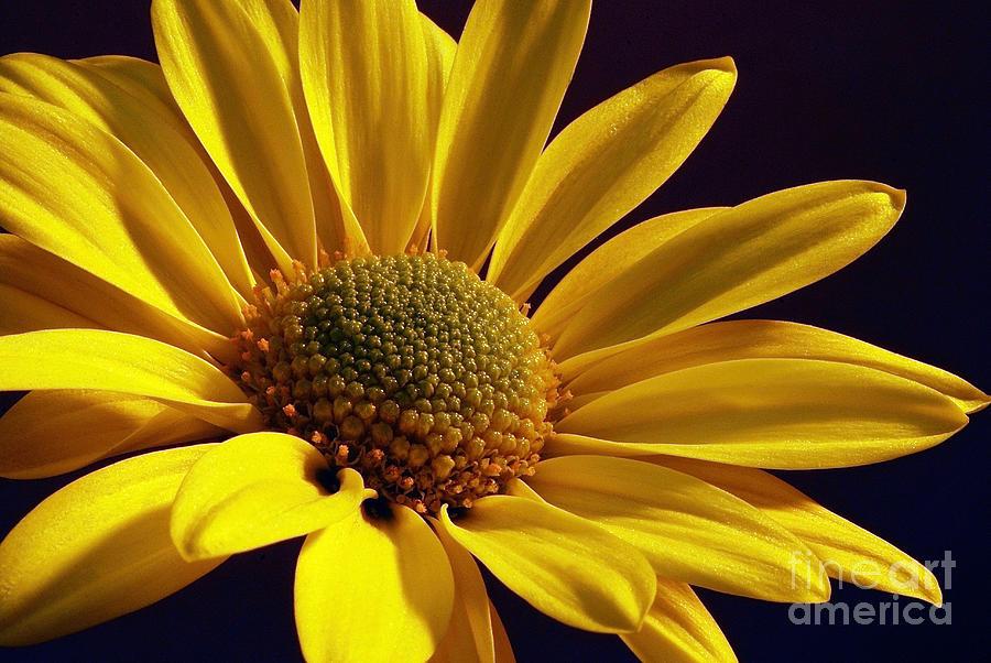Flower Photograph - Daisy by Lois Bryan