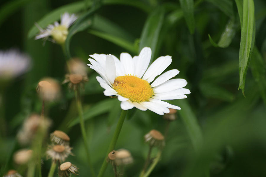 Wild Flowers Photograph - Daisy One by Alan Rutherford