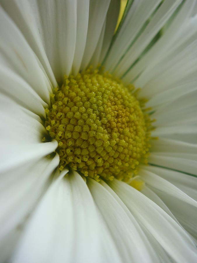 Floral Photograph - Daisy by Patricia M Shanahan