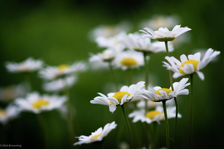 Flower Photograph - Daisy Summer Sunshine by Web Browning