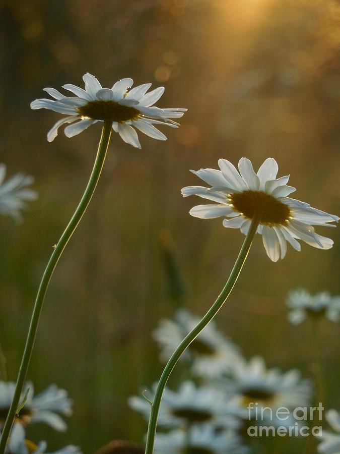 Daisy Photograph - Daisy Sunset by Rowena Throckmorton