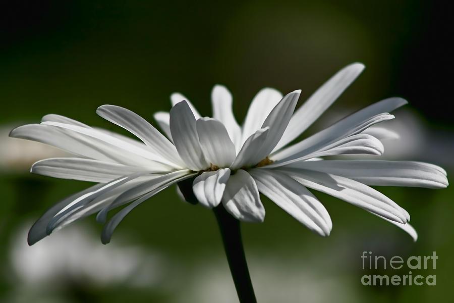 Flower Photograph - Daisy by Teresa Zieba