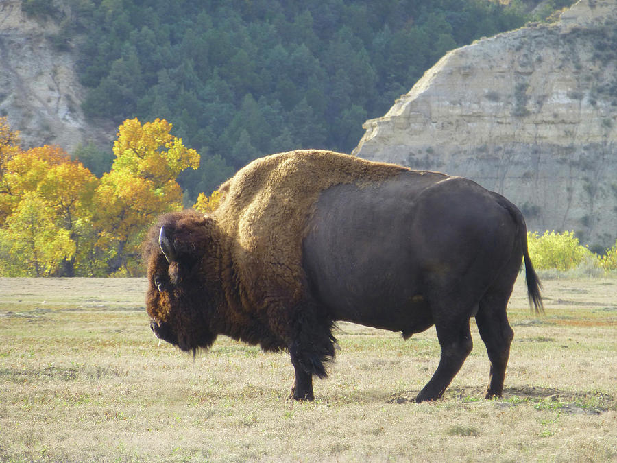 Buffalo Photograph - Dakota Badlands Majesty by Cris Fulton