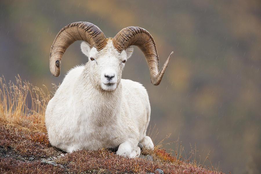 Dall Sheep Photograph - Dall Sheep Ram by Tim Grams