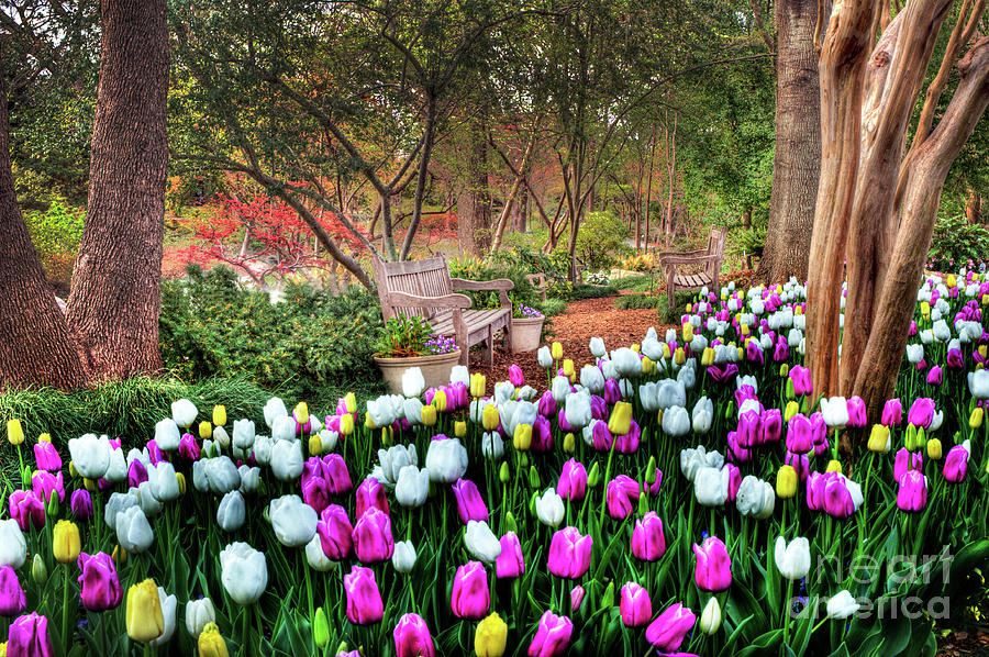 Tulip Photograph - Dallas Arboretum by Tamyra Ayles