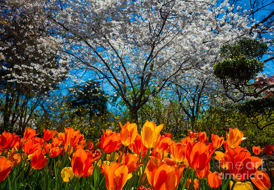 America Photograph - Dallas Arboretum Tulips And Cherries by Inge Johnsson