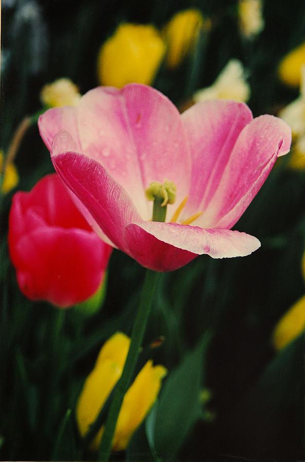 Flowers Photograph - Dallas by Lori Mellen-Pagliaro