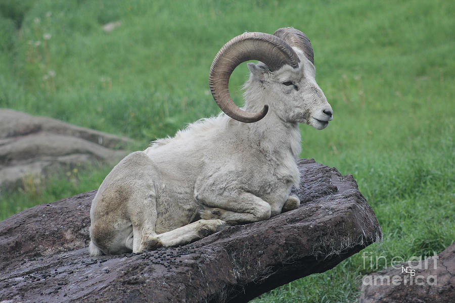 Dall's Sheep Photograph - Dalls Sheep by Nelson Smith