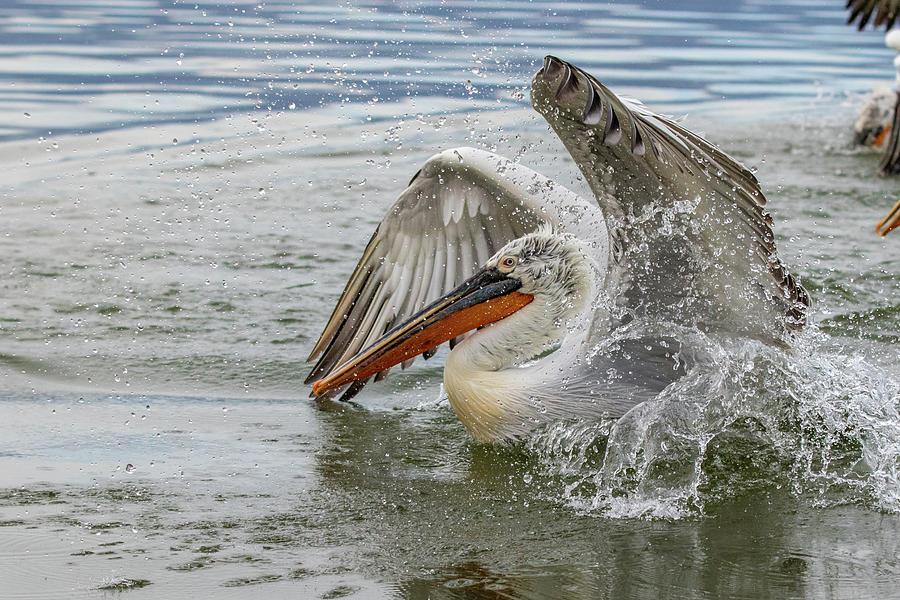 Dalmatian Pelican - Pelecanus Crispus Photograph