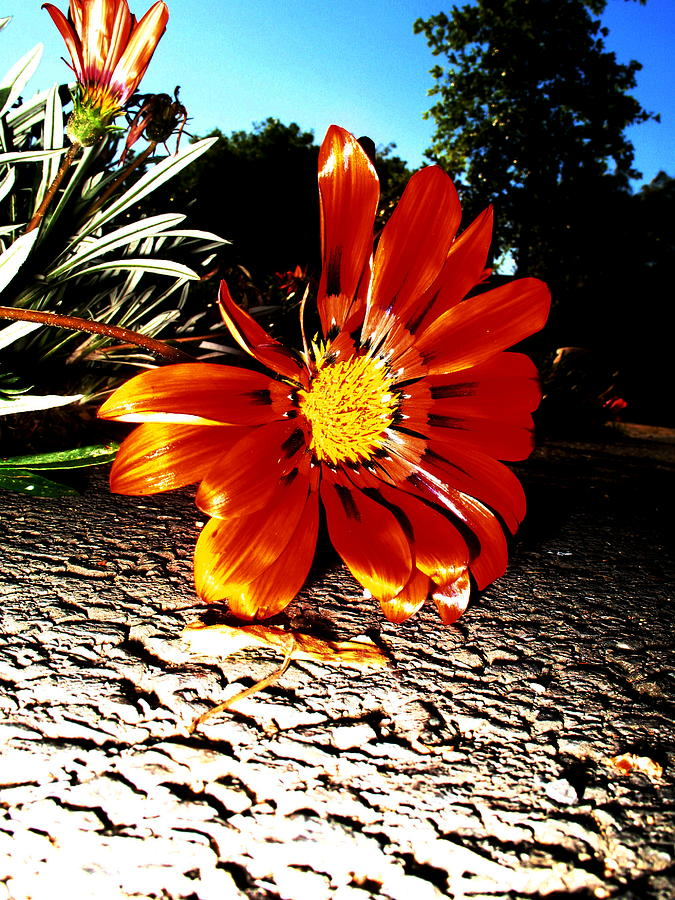 Flowers Photograph - Damaged Flower by Nico Smith