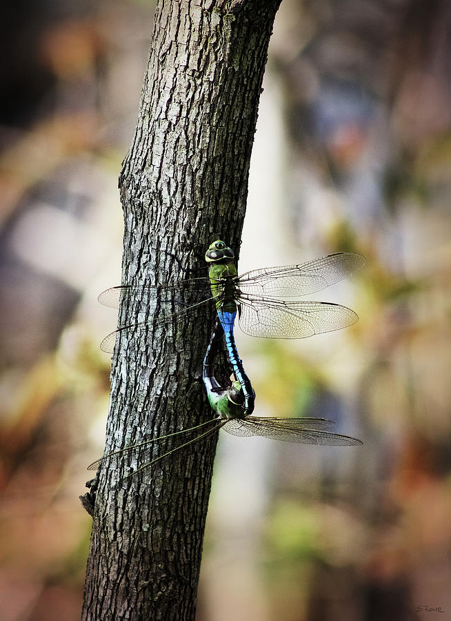 Dragonflies Photograph - Dragonflies Need Love Too by Shawna Rowe
