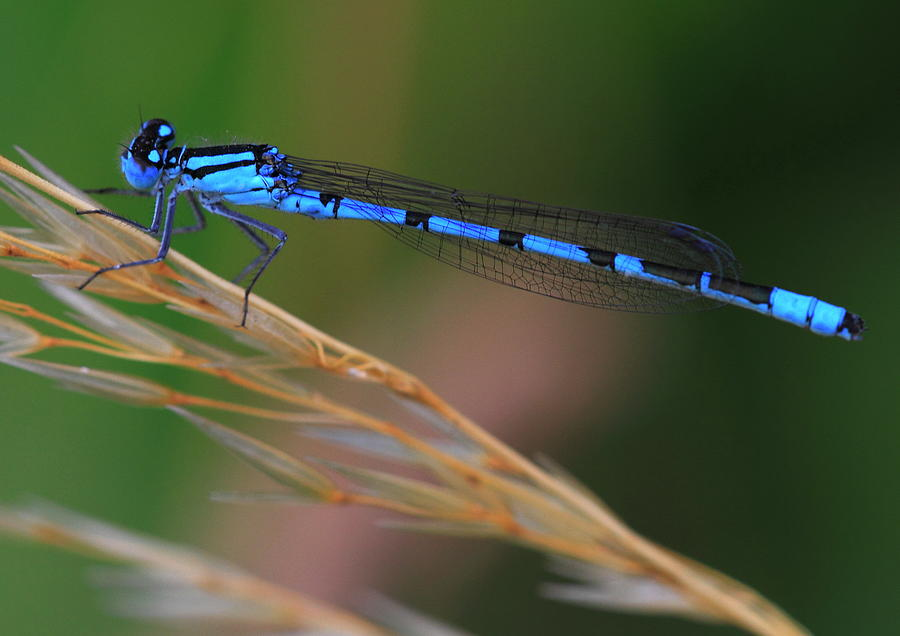 Damselfly by Ian Sanders