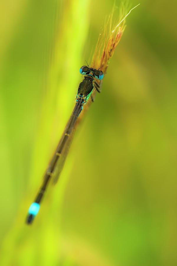 Nature Photograph - Damselfly by Ignacio Leal Orozco