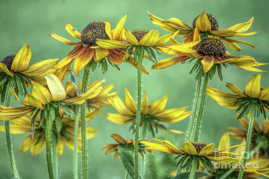Blackeyed Susan Photograph -  Dance by Gaby Swanson